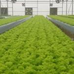 lettuce_lolobionda_1